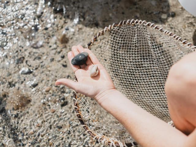 Pêche a pied à Agon-Coutainville coque bleue
