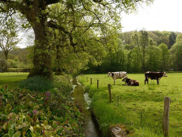 Vaches au bord de la Hambyotte à l'abbaye de Hambye